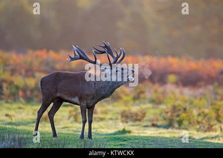 Red Deer Cervus elaphus stag muggito all'alba durante rut Bushy Park London Ottobre Foto Stock