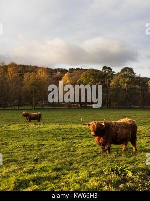 Highland vacche su terreni agricoli in Dollar, Clackmannanshire, Scozia, Nov 2017 Foto Stock