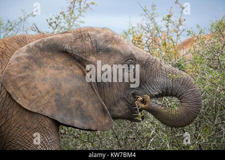 Elefante africano (Loxodonta africana) alimentazione, Parco Nazionale di Addo, Capo orientale, Sud Africa, Ottobre Foto Stock