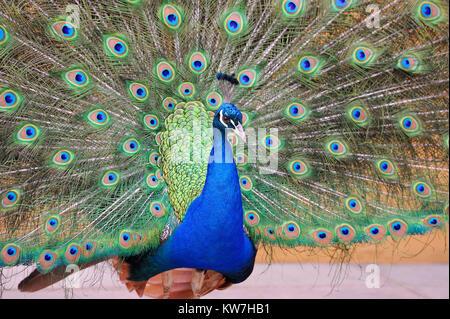 Ritratto di peacock in posa con piume fuori Foto Stock