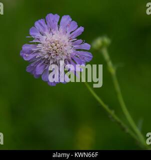 Un fiore scabioso 'blu farfalla' in piena fioritura. Foto Stock