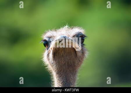 Ostrich guardando la fotocamera