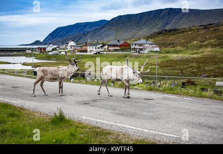 La renna nel nord della Norvegia, Nordkapp Foto Stock