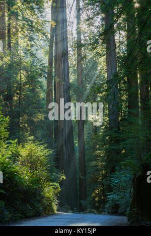 La luce del sole attraverso Coastal Redwood (Sequoia sempervirens) in Jedediah Smith Redwoods State Park, California Foto Stock
