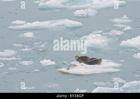 Le guarnizioni selvaggio appoggiato su iceberg galleggianti sul mare. Foto Stock