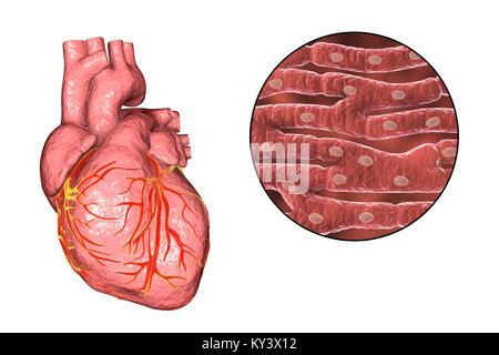 Il sistema muscolare del corpo umano dalla parte for Vasi coronarici