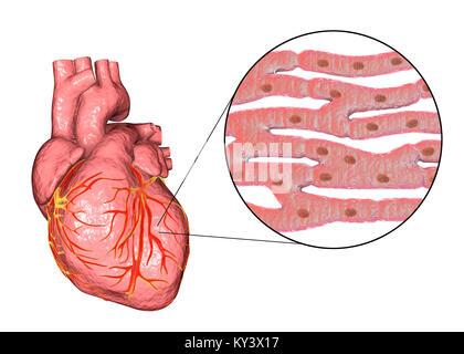 Il cuore un organo muscolare che pompa il sangue for Vasi coronarici
