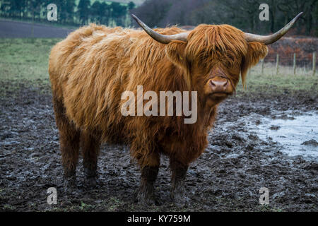 Highland vacca a Beecraigs Country Park, West Lothian Foto Stock