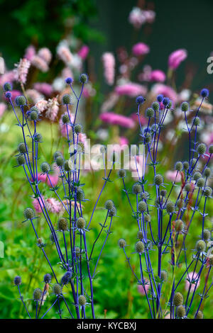Eryngium × zabelii Jos Eijking,blue thistle,mare blu holly,fiore,fiori,fioritura,bract,brattee,giardino,giardino,RM Floral Foto Stock