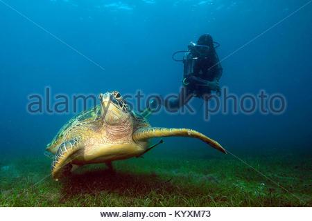 Scuba Diver e la tartaruga verde (Chelonia Mydas), Sabang beach, Mindoro island, Filippine, Asia Foto Stock