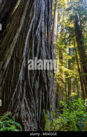 Guardando verso l'alto un grande albero di sequoia. Parco Nazionale di Redwood in California, Stati Uniti d'America. Foto Stock