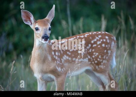 White-Tailed Deer Fawn (Odocoileus virginianus) Foto Stock