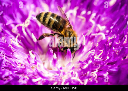 Stokesia laevis 'Honeysong viola', primo piano ape miele in fiore Foto Stock