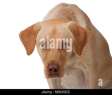 Giallo labrador si inclina in avanti e guarda direttamente nella fotocamera; dudley labrador; marrone rosa naso; Foto Stock