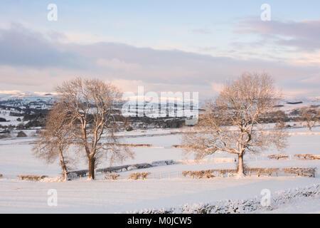 Una coppia di alberi di cenere in inverno la neve Foto Stock