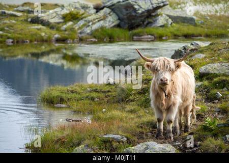 Highland scozzesi bestiame sul pascolo alpino, Scheidseen, Galtür, Tirolo, Austria Foto Stock