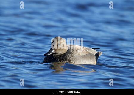 Un maschio di canapiglia Anas strepera nuoto sul blu dell'acqua. Una superficie di alimentazione o a dedicarmi anatra. Foto Stock