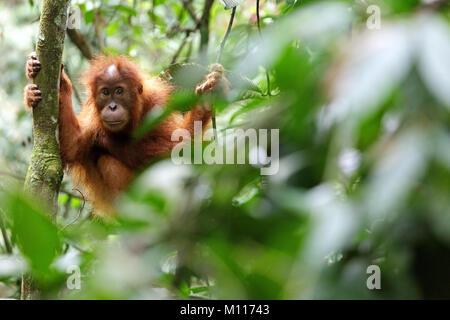 Baby orangutan svolge nella foresta pluviale di Gunung Leuser National Park, Sumatra, Indinesia Foto Stock