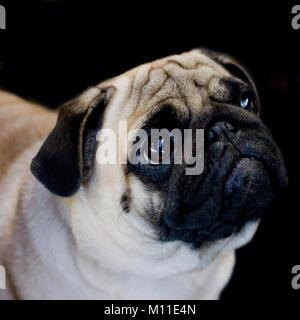Pug dog close-up su sfondo nero, guardando lontano Foto Stock