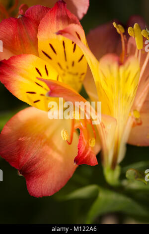 Alstroemeria Giglio in piena fioritura Foto Stock