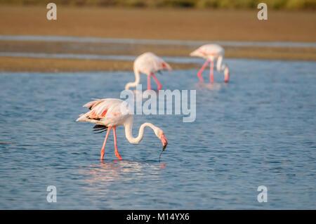 Fenicottero maggiore (Phoenicopterus roseus) gruppo di mangiare, il delta del fiume Ebro, Tarragona Catalogna Foto Stock