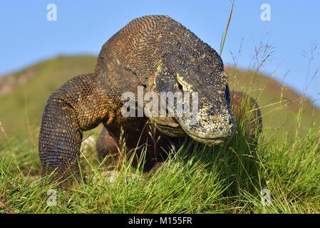 Ritratto del drago di Komodo (Varanus komodoensis ) è la più grande lucertola vivente nel mondo. Su isola di Rinca. Foto Stock