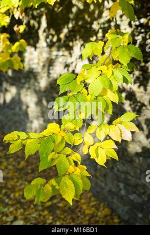 Luce solare pezzata su foglie di faggio - Fagus - da muretti a secco in pietra in autunno a Swinbrook, il Costwolds, Foto Stock