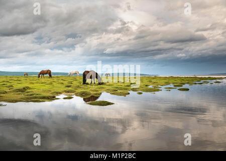 Cavalli al pascolo sulle rive del lago Hovsgol, Hovsgol provincia, Mongolia, Asia Centrale, Asia Foto Stock