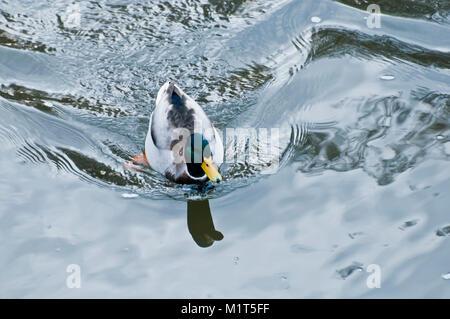 Mallard duck nuotare nel fiume, dal di sopra Foto Stock