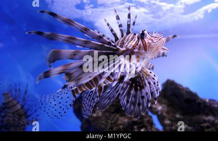 Pesce leone underwater Foto Stock