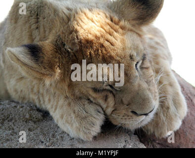 Lion cub o cucciolo dorme vicino fino Foto Stock
