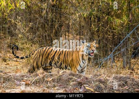 Wild femmina adulta tigre del Bengala, Panthera tigris tigris completa con nippli, chiedendo per la sua cubs, Bandhavgarh Riserva della Tigre, Madhya Pradesh, India