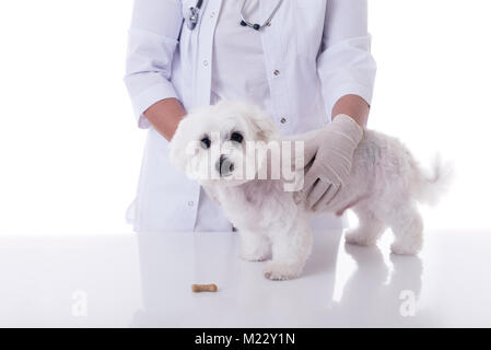 Veterinario esaminando un simpatico cane maltese in tabella medica con biscotti, isolate su sfondo bianco Foto Stock