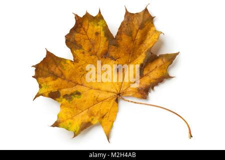 Unica struttura maple leaf in autunno su sfondo bianco Foto Stock