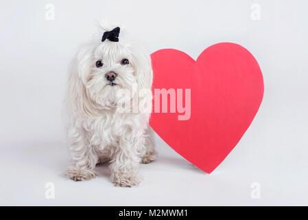 Funny piccolo cane con un cuore Foto Stock
