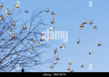 Stormo di piccioni volare insieme contro il cielo blu in Inghilterra, Regno Unito. Foto Stock