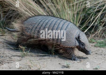 Sud Americana armadillo camminare tra la sabbia a Penisola Valdes patagonia aregntina america del sud Foto Stock