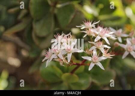 Crassula argentea ovata pianta di giada foto immagine stock