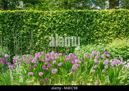 Viola alliums in inglese confine con copertura Foto Stock