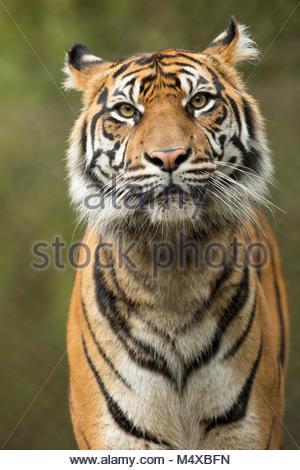 La tigre di Sumatra, lo Zoo di Jacksonville, Florida. Foto Stock