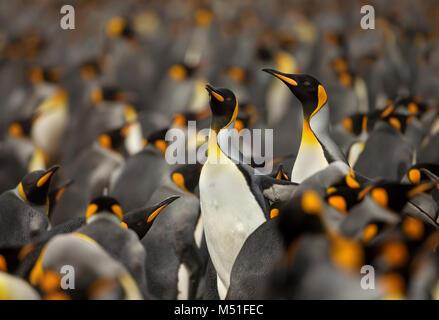 Pinguino reale (Aptenodytes Patagonicus) colonia nelle isole Falkland. Foto Stock