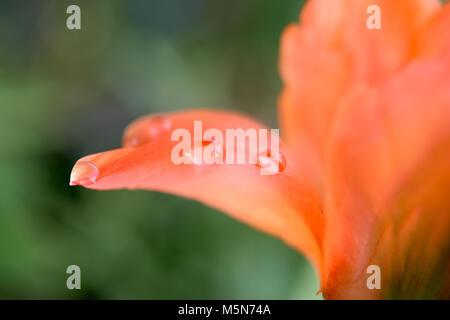 Primo piano della orange tulip wit di gocce di acqua Foto Stock