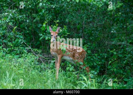 Vadnais Heights, Minnesota. John H. Allison foresta. White-tailed deer, Odocoileus virginianus. Fawn nascosti nella Foto Stock