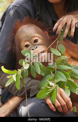 Baby orangutan orfani (Pongo pygmaeus) giocando con le foglie nella foresta sessione di formazione presso l'orangutan Foto Stock