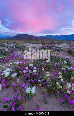 Dawn, sabbia Verbena, gloria di mattina, Dune di enagra, Anza-Borrego Desert State Park, California Foto Stock