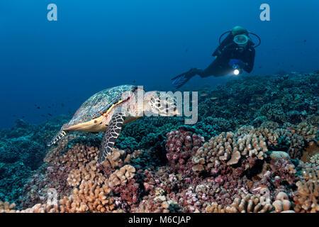 Sommozzatore osserva Tartaruga Verde (Chelonia Mydas) sulla barriera corallina con bush coralli (Pocillopora), Oceano Foto Stock