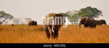 Bush Elefante africano (Loxodonta africana) cammina verso la telecamera tra una mandria . Parco Nazionale del Serengeti, Foto Stock