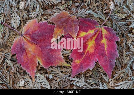 La brina sulle foglie di acero, da saltare Moody/Dembinsky Foto Assoc Foto Stock