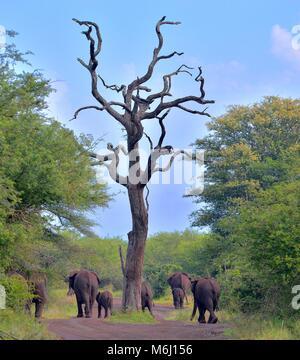 Il Kruger Park, Sud Africa. Una fauna selvatica e il paradiso degli uccelli. Elefante africano Loxodonta africana Foto Stock