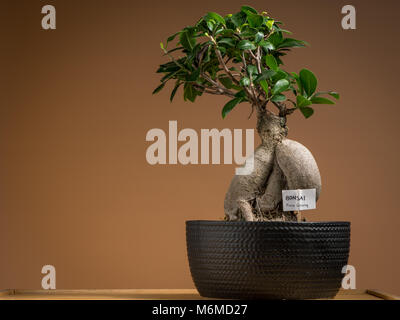 Un piccolo bonsai ficus tree (Ficus ginseng) piantate in un pot nero Foto Stock